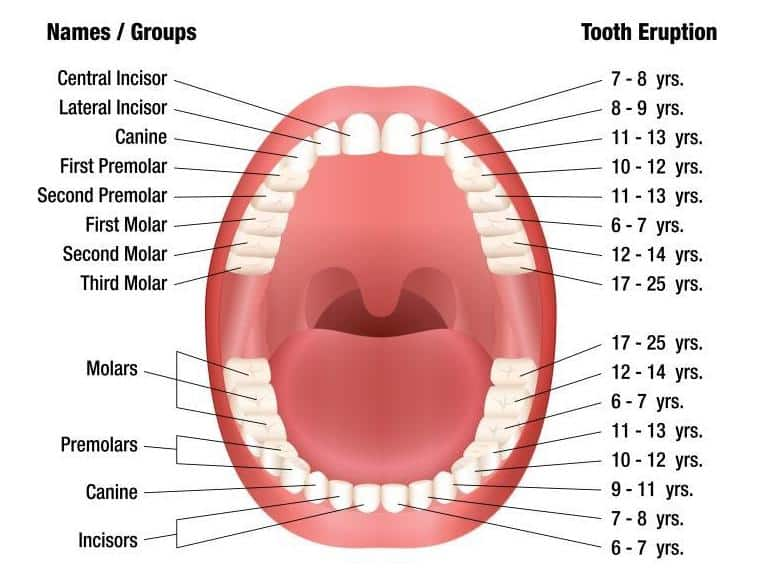 timeline of permanent teeth eruption