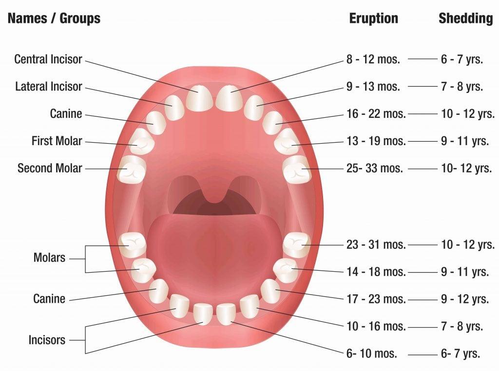 timeline of primary teeth eruption