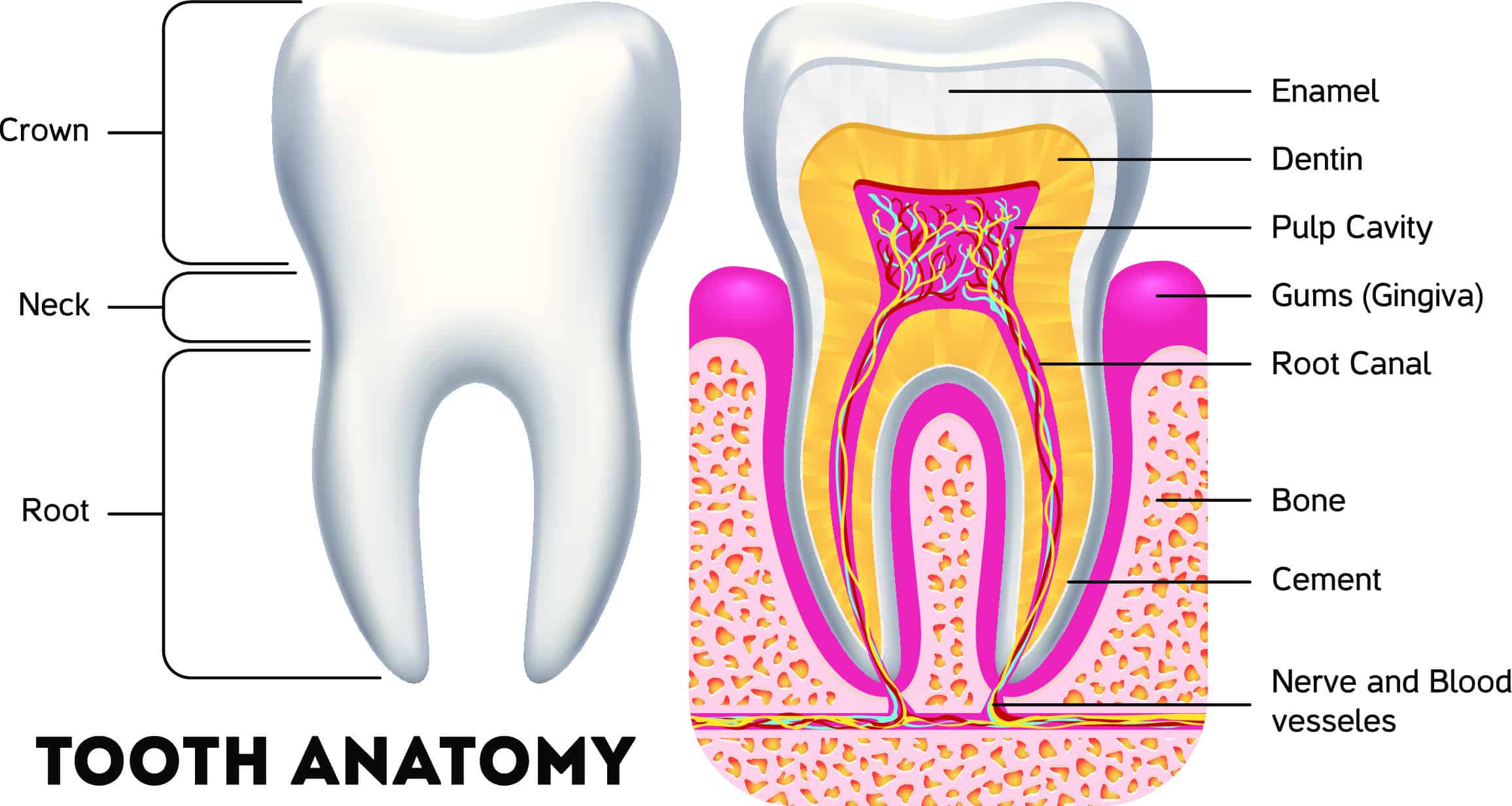 anatomy of a tooth showing dentin and enamel